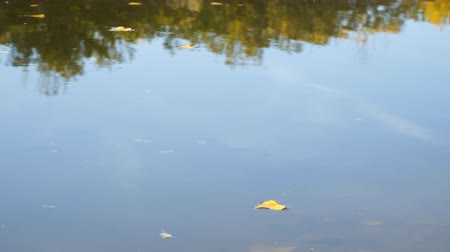 osika : Yellow autumn leaves on quiet water. Autumn leaves on the surface of a lake or river Dostupné videozáznamy