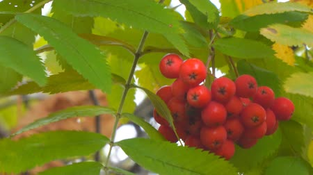 sorbus : Bright Red Rowan berries swaying wind. Selective focus