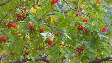 üvez ağacı : Red bunches of rowan on the branches swaying wind. Selective focus