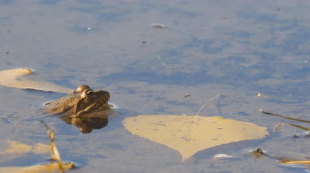 horned : Frog in the water next to the yellow autumn leaves. Camera panning