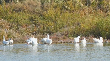 flock of geese : White geese by the river or lake. Geese clean feathers and feed