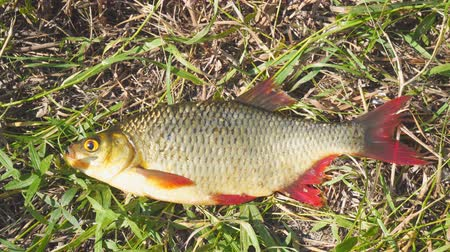 at kuyruğu : Fish with red fins on the grass. Rudd - Scardinius erythrophthalmus Stok Video