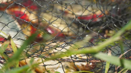 снасти : Caught Fish on the shore in a fishing cage. Blurred background. Camera zooming Стоковые видеозаписи
