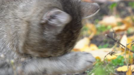 outside : Grey cat licks paw and washes Stock Footage