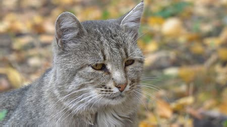ronronar : Portrait of a gray cat on a background of autumn leaves Vídeos