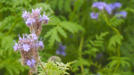 scented : Purple flowers of Phacelia in the garden Stock Footage