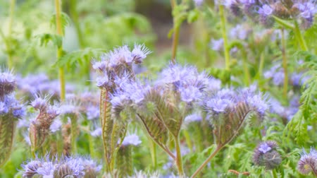 опылять : Purple flowers of Phacelia in the garden Стоковые видеозаписи