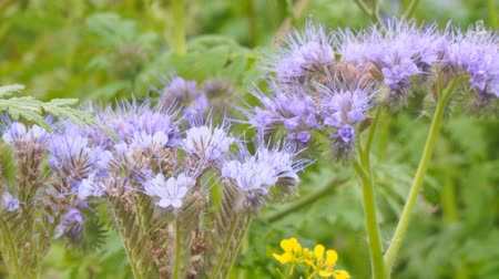 хлорофилл : Purple flowers of Phacelia in the garden. Camera zooming Стоковые видеозаписи