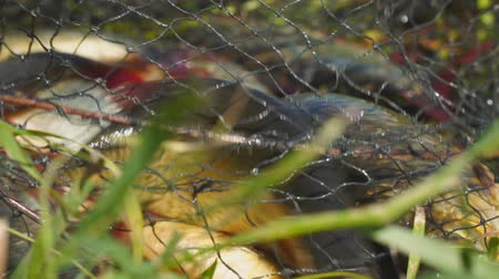 crucian : Caught Fish on the shore in a fishing cage. Blurred background