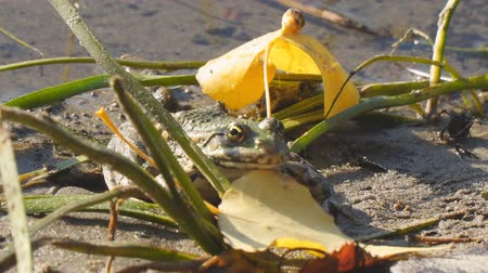 ileri : Frog on the shore next to fallen yellow leaves. Camera zooming