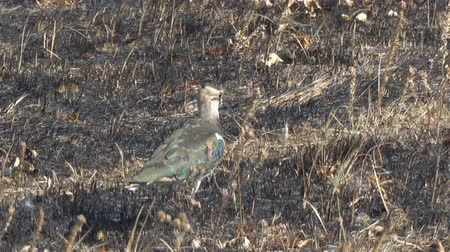 rövid : The lapwing bird walks among dry grass. Vanellus vanellus