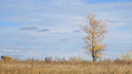 idílico : Lonely tree in a field with yellow autumn leaves in the wind. Camera panning