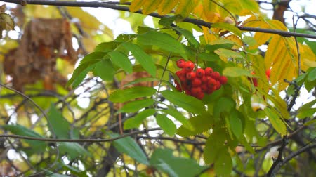 üvez ağacı : Bright Red Rowan berries swaying wind. Selective focus
