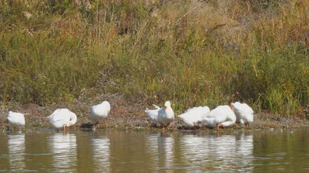 flock of geese : White geese by the river or lake. Geese clean feathers
