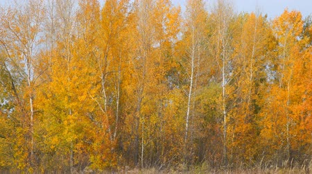 zálesí : Autumn landscape. Yellow and orange leaves on the trees in a small grove. Front view of the autumn woods. Camera zooming out Dostupné videozáznamy