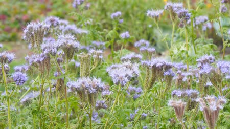 опылять : Purple flowers of Phacelia in the garden. Camera panning Стоковые видеозаписи