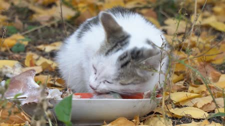 ronronar : White Gray Cat eating its food on the background of autumn leaves Vídeos