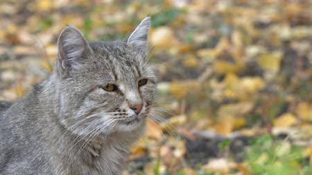 ronronar : Portrait of a gray cat on a background of autumn leaves Stock Footage