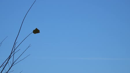 dead forest : Dry single leaf on a branch against a blue sky