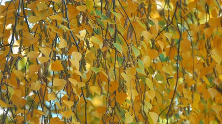 âmbar : Yellow autumn birch leaves on branches