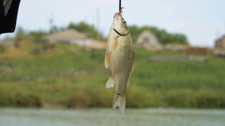 crucian : A small fish crucianon on a hook