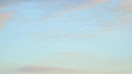 rook : Flying Flocks of birds in the cloudy sky Stock Footage