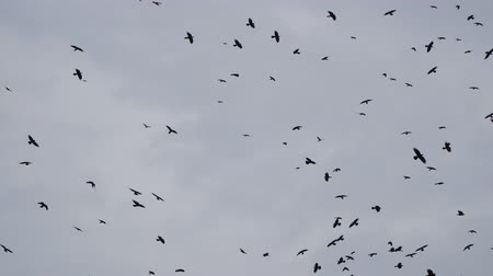 ладья : Flying Flocks of birds in the cloudy sky Стоковые видеозаписи