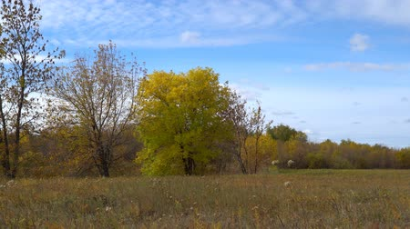 kurutulmuş : Tree with yellowing leaves on autumn meadow. Early autumn. Camera panning Stok Video