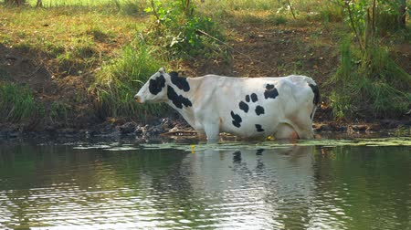 sede : Cows stand in the water on a hot day escaping from the heat