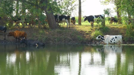 escaping : Cows stand in the water on a hot day escaping from the heat. Camera zooming Stock Footage