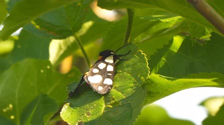 чешуекрылых : Butterfly with white spots on black wings on green leaf. Epicallia villica