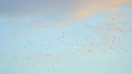 авес : Flying Flocks of birds in the cloudy sky Стоковые видеозаписи