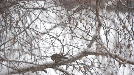 birdie : Tit in the snow sits on a birch branch and pecks his food. Slow motion Stock Footage