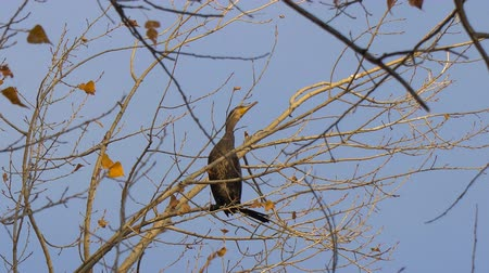 levegős : Black bird sitting on a tree without leaves. Cormorant sitting on an autumn tree