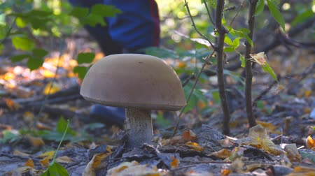 porcini mushrooms : Large white mushroom in the autumn forest. A man is approaching the mushroom Stock Footage