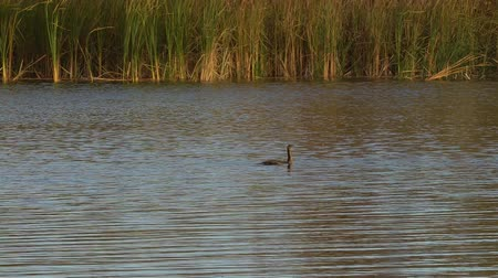 авес : Black cormorant swimming in the lake Стоковые видеозаписи
