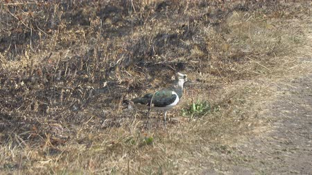 influenzy : The lapwing bird walks among dry grass. Vanellus vanellus