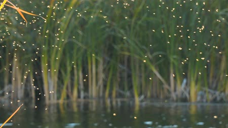 паразитный : Gnus, mosquitoes or midges fly over the lake and reeds, sedge. Camera panning