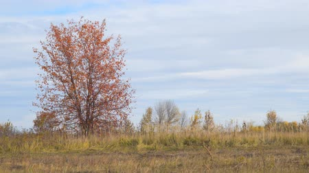 non şehir sahne : Lonely tree in a field with red autumn leaves. Camera zooming Stok Video