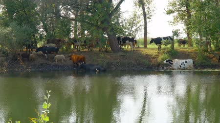 escaping : Cows stand in the water on a hot day escaping from the heat. Camera panning Stock Footage