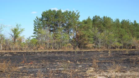 charred : Burnt clearing in front of the forest