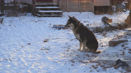 canino : Chain dog mongrel sitting in the snow