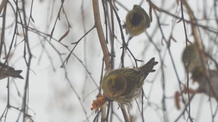 pinus : Siskins sitting on the branch of a birch and eat the seeds of birch
