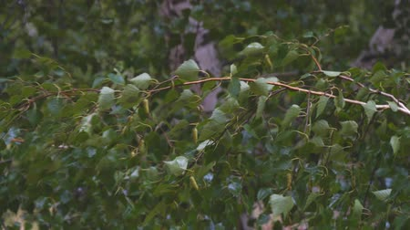 nemli : Wet branches and birch leaves in the rain Stok Video