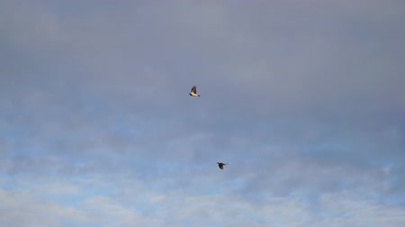 flapping : Two Crows flies against a cloudy sky. Slow motion.