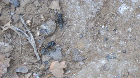 энтомология : Two black Carpenter ant crawling on the sand. Camponotus vagus. Selective focus Стоковые видеозаписи
