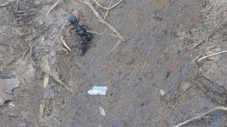 haşarat : Two black Carpenter ant near the dead ant on the sand. Camponotus vagus. Selective focus Stok Video
