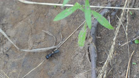 haşarat : Black Carpenter ant crawling on the sand. Camponotus vagus. Selective focus Stok Video