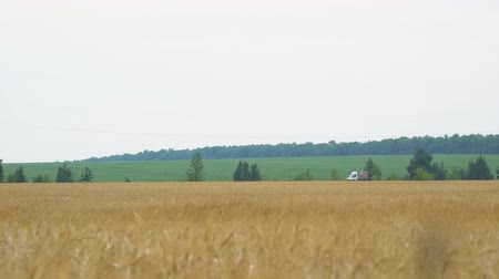 sklizeň : Field with wheat or rye. On the edge of the field passing car.