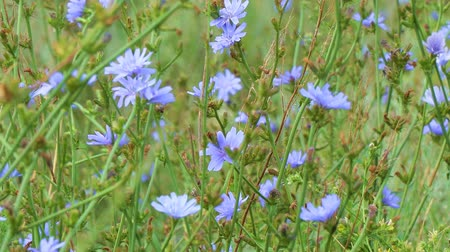 substitute : Blue flowers on natural background. Flower of wild chicory endive. Meadow grass. Cichorium intybus
